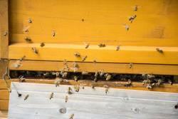 Fleißige Arbeiterinnen - Honigbienen am Bienenstock