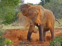 Afrikanischer Elefant nimmt eine Dusche
