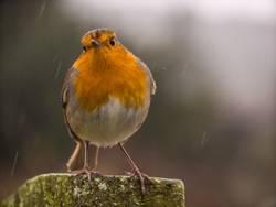 Rotkehlchen im Regen - mit frechem Blick