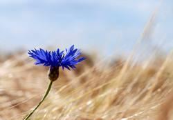 Kornblume vor Weizenfeld