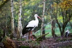 Storch im Wald