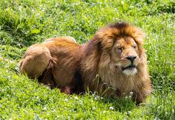 A male lion resting in the African savanna