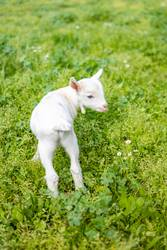 Portrait of a little goat on the grass