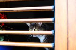Yellow eyes cat behind a wooden blinds