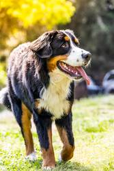 Portrait of a Bernese mountain dog outdoors. Mountain dog.