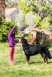 Little girl training a Bernese mountain dog