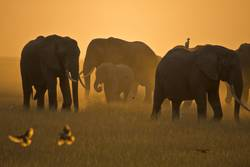 Elefanten der Masai Mara