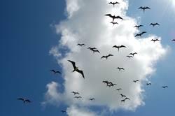 Invasion mexikanischer Fregattvögel