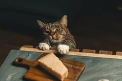 Katze versucht Käse zu stehlen