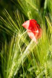 Oster-Mohn-Tag