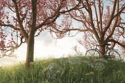 Unter Kirschblüten