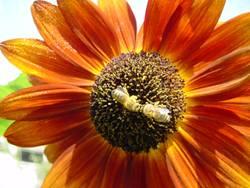 BestäubungsKuss im BlütenstaubMeer