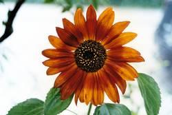 Die rote Sonnenblume