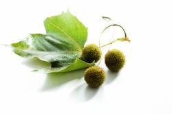 Früchte und auch das Blatt einer Platane