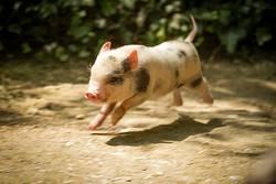 Junges Minischwein springt lebenslustig in der Natur.