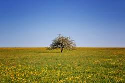 Obstbaum in einer Blumenwiese
