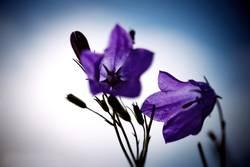 Tender Floret