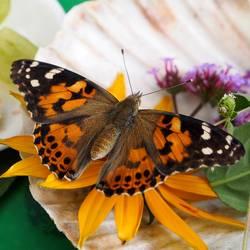 Distelfalter auf Blume