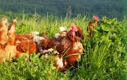 Freilaufene Hühner auf grüner Wiese