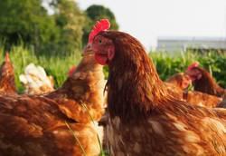 Freilaufende Hühner auf einer Wiese
