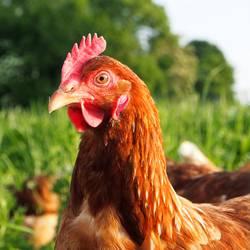 Freilaufendes Huhn auf grüner Wiese