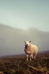 Schafskäse