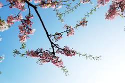 [Harusaki DD] Es Blüht der Kirschbaum
