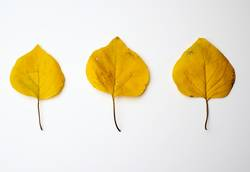 three yellow dried apricot leaves