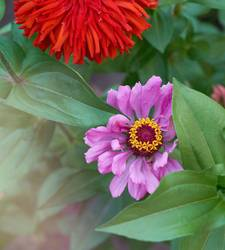 blooming multicolored flowers zinnia