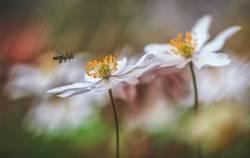 Anemonen mit Biene