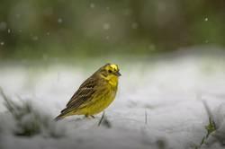 Goldammer im Schnee