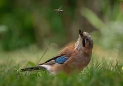 Eichelhäher mit vorbeifliegender Biene