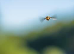 und tschüss! Biene von hinten