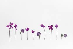 Purple cyclamen and clover herbarium
