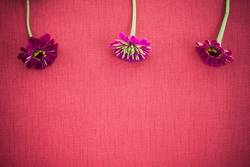 Three zinnias on deep red canvas with copy space