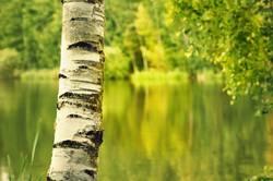 die birke   thementag pflanze
