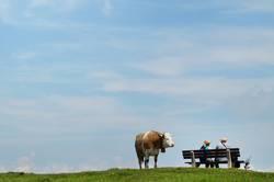 gedanken einer kuh am abgrund