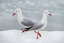 pas de deux im schnee