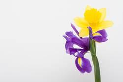 Narzisse und Iris