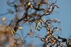 Korkenzieher-Haselnuß