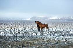 Two Icelandic horses in snowy winter landscape