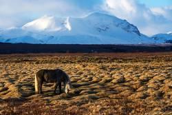 Portrait of a gray Icelandic horse