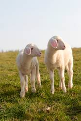 Young lamb on a meadow in springtime