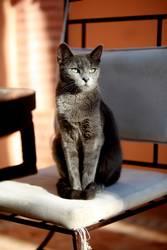 Carthusian cat enjoys the sun