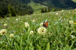 Butterfly on a flower in Bavarian mountains