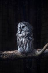 Great Gray Owl on a tree trunk