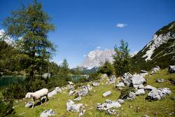Herd of sheep at mountain lake Seebensee, Austrian Alps