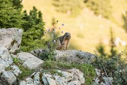 Alpine marmot between flowers