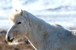 Portrait of a white Icelandic horse