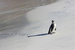 Penguin lost in paradies at Boulders Beach